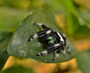 c_300_0_16777215_0___images_stories_article2_phidippus_regius__adult_male_1.jpg
