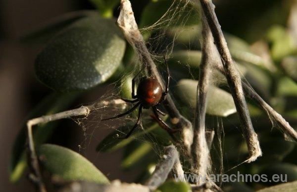 Latrodectus mirabilis fema.jpg