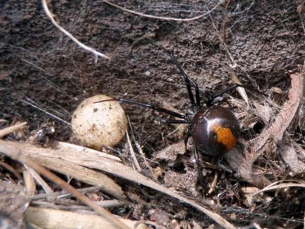 Snovačka hasseltova (Latrodectus hasselti)