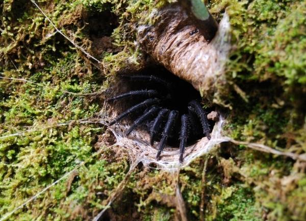 Venomous Mesotheles
